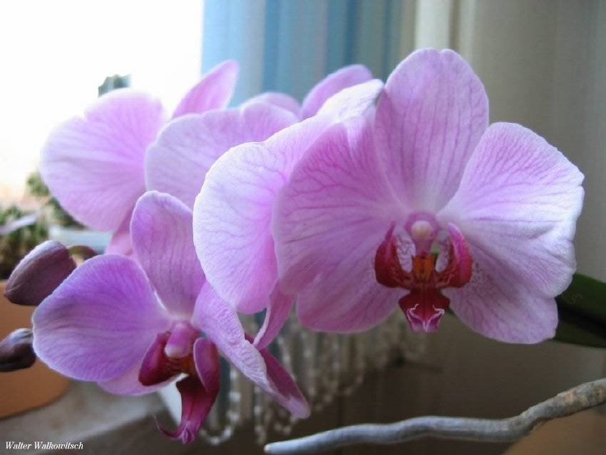 Phalaenopsis Blume ( Orchideen )